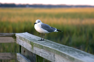 seagull relaxing on dock in Murrells Inlet SC